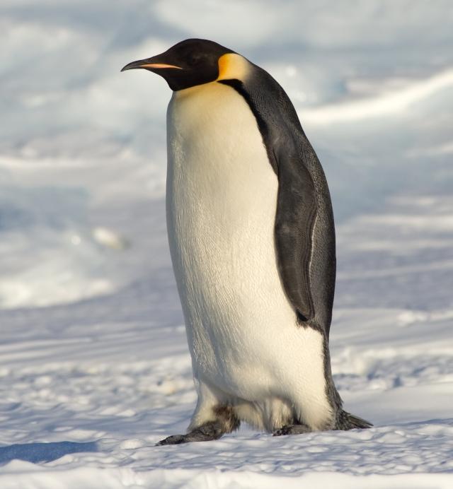 ein Pinguin im ewigen Eis