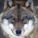 Der Wolf in Uns.