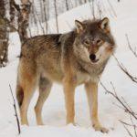 Der Wolf und Wir.